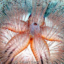 Blue-Spotted Urchin, taken on Oahu's eastern shore in 60 ... by Stuart Ganz 